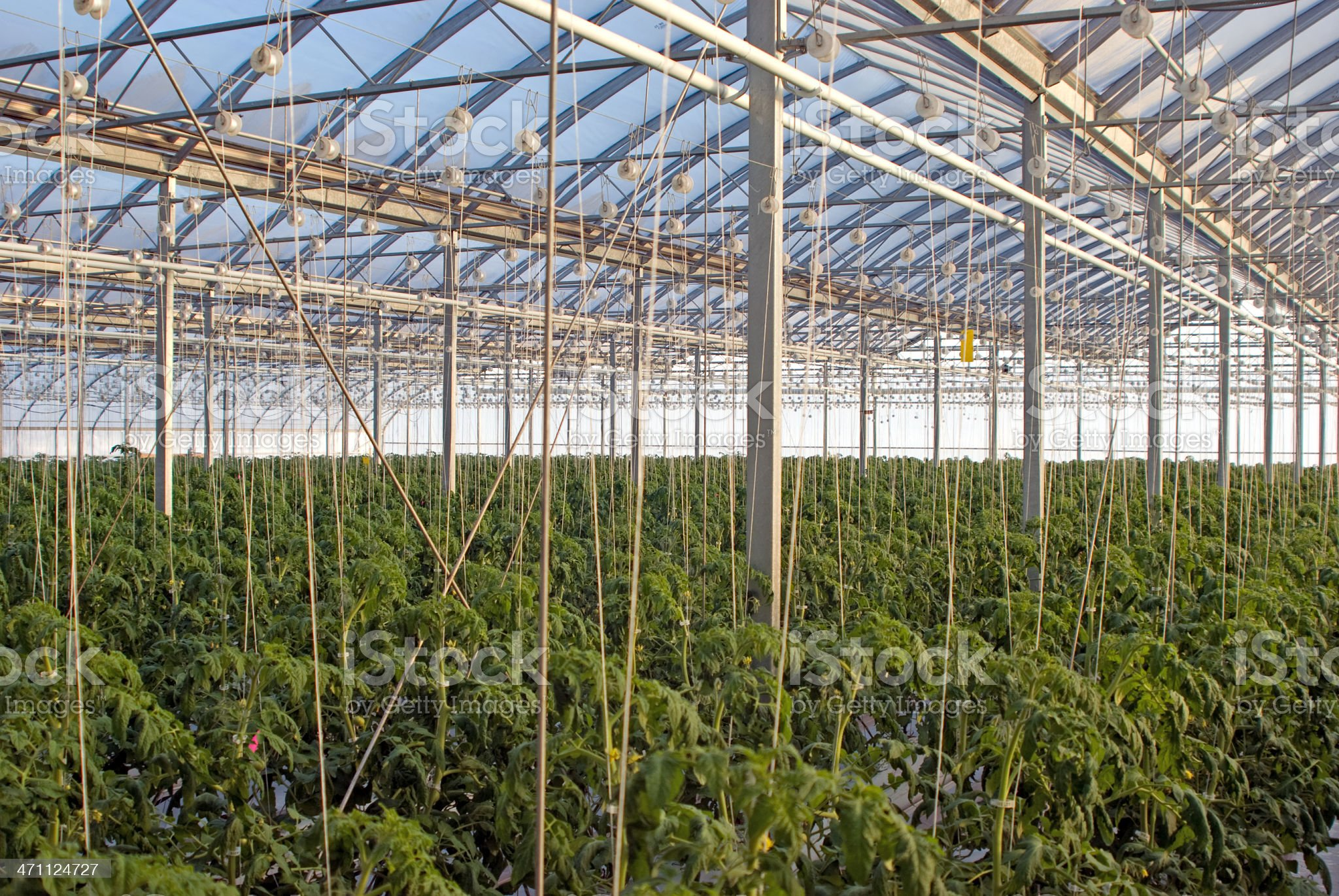 Greenhouse Tomato Production royalty-free stock photo