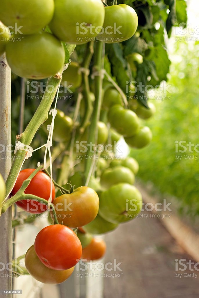 Greenhouse Tomatoes royalty-free stock photo