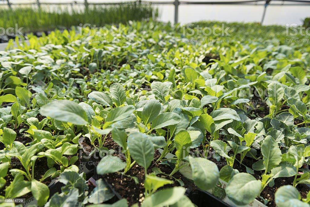 Greenhouse vegetables stock photo