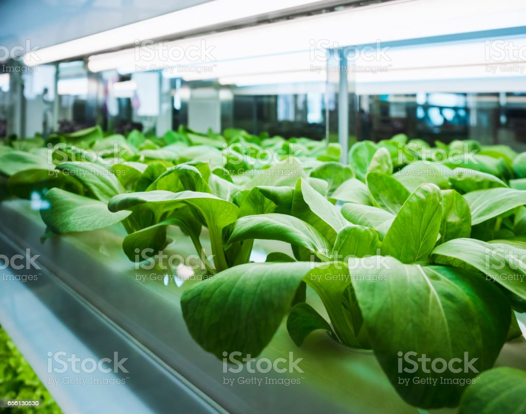 Greenhouse vegetables Plant row Grow with Led Light Indoor Farming technology stock photo
