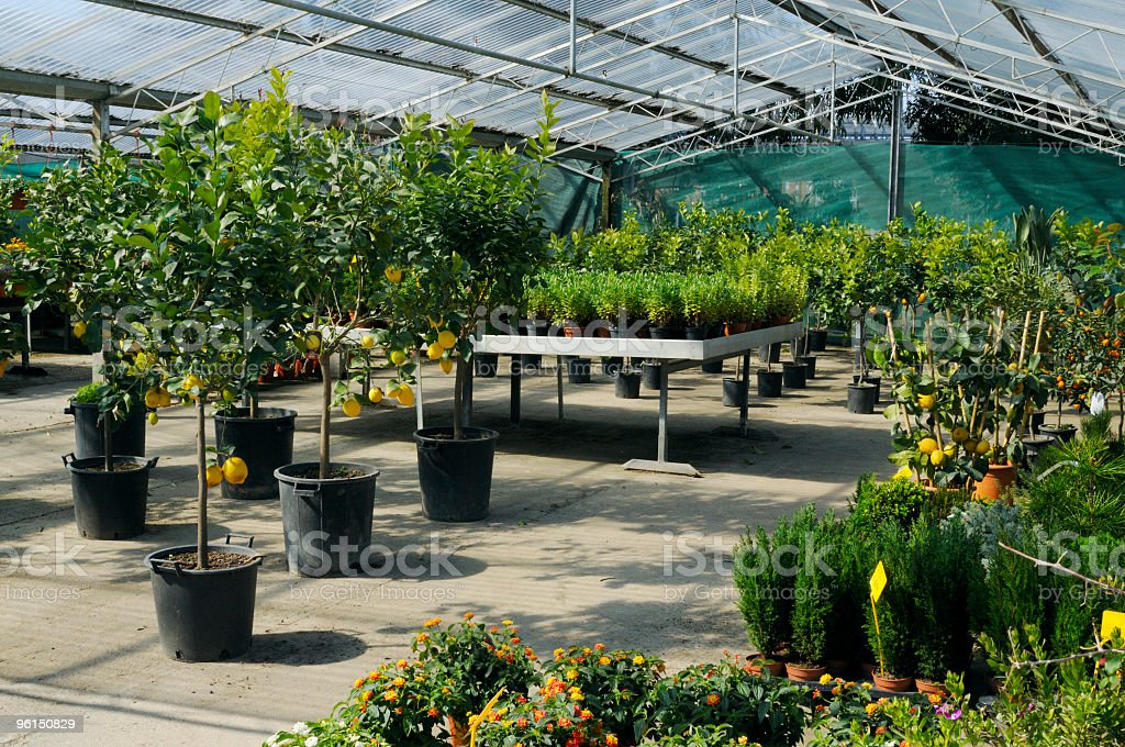 Greenhouse with lemon trees royalty-free stock photo