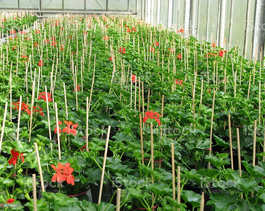 Greenhouse with red geranien stock photo
