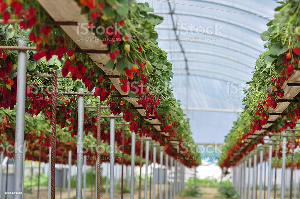 A greenhouse with rows of elevated strawberry plants stock photo