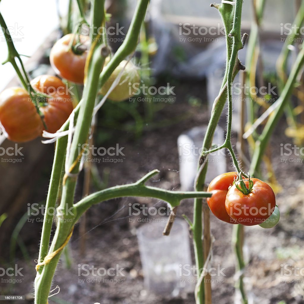 greenhouse with tomatoes royalty-free stock photo