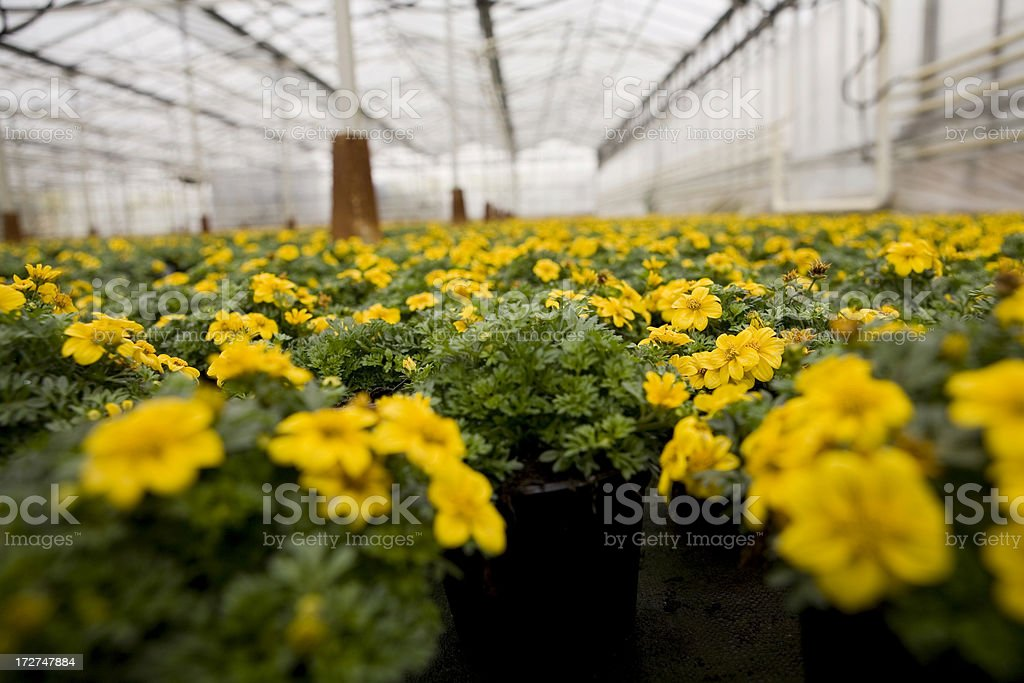 Greenhouse with young potted plants royalty-free stock photo