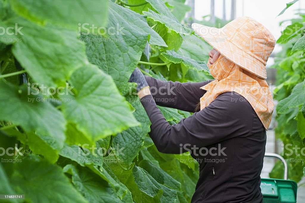 Greenhouse Worker Picking Cucumbers royalty-free stock photo