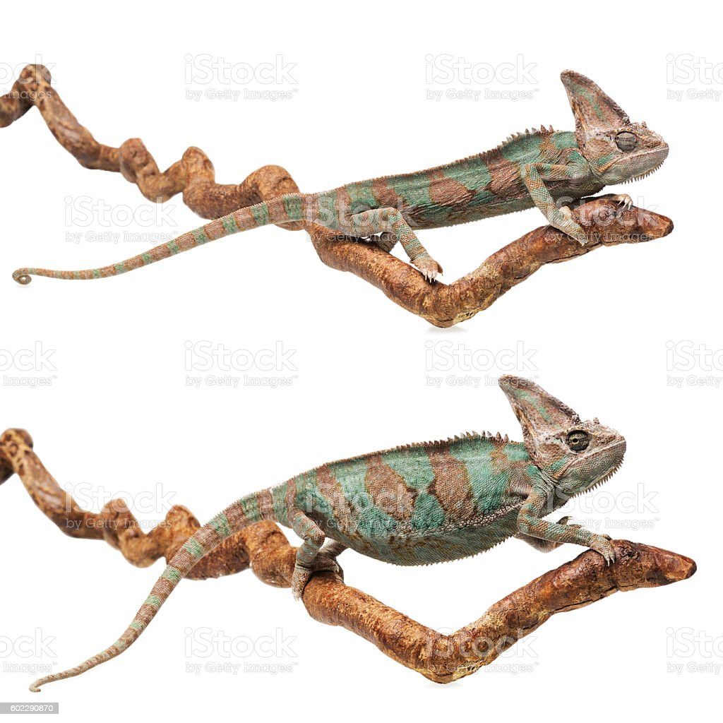 Greenish brown chameleon disguised and in normal position on bra stock photo