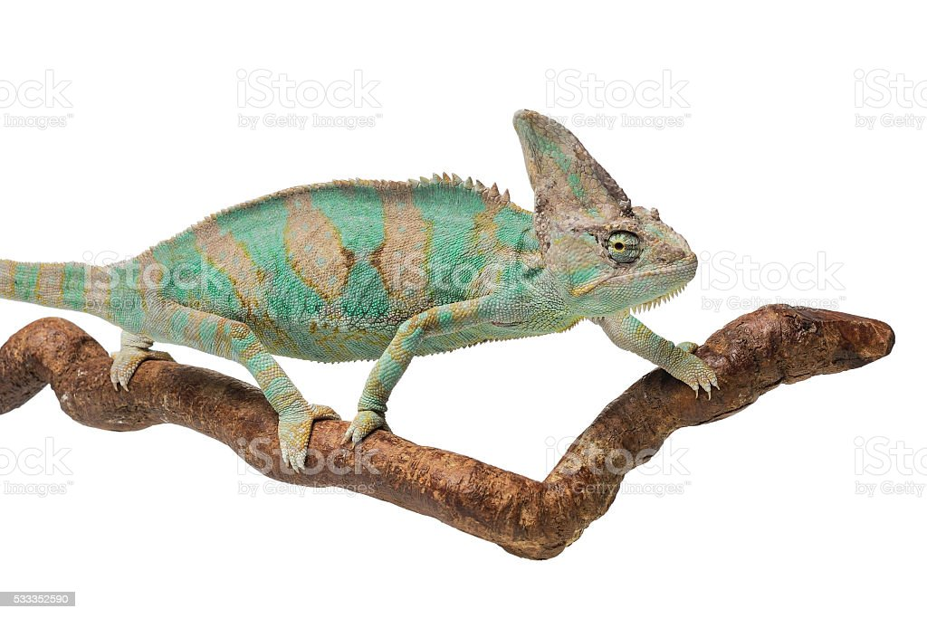 Greenish brown chameleon on branch stock photo