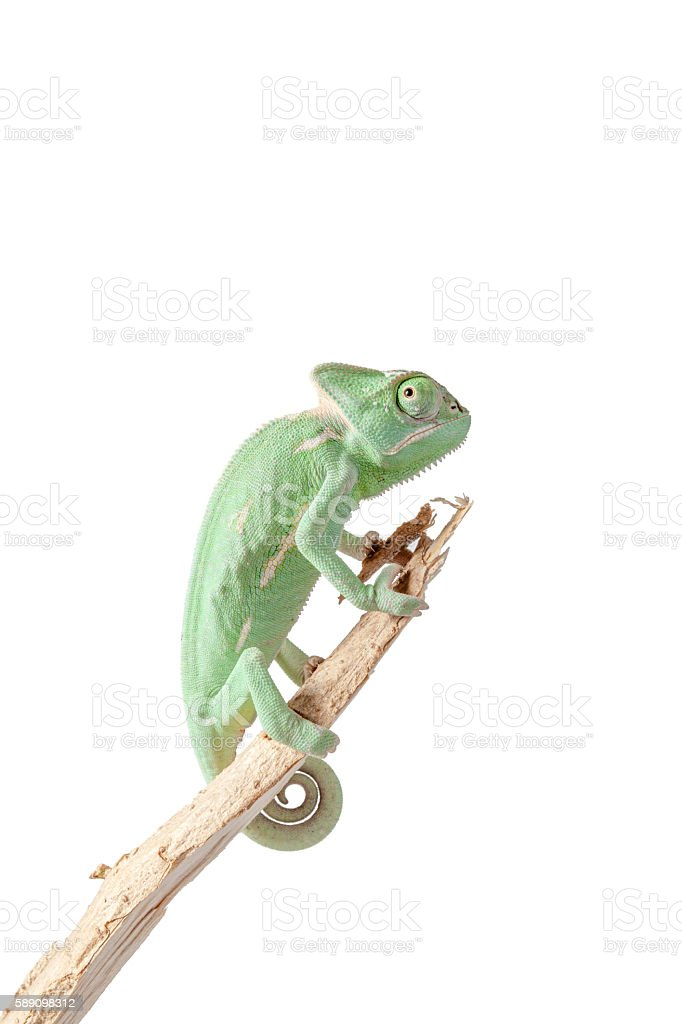 Greenish chameleon on branch stock photo