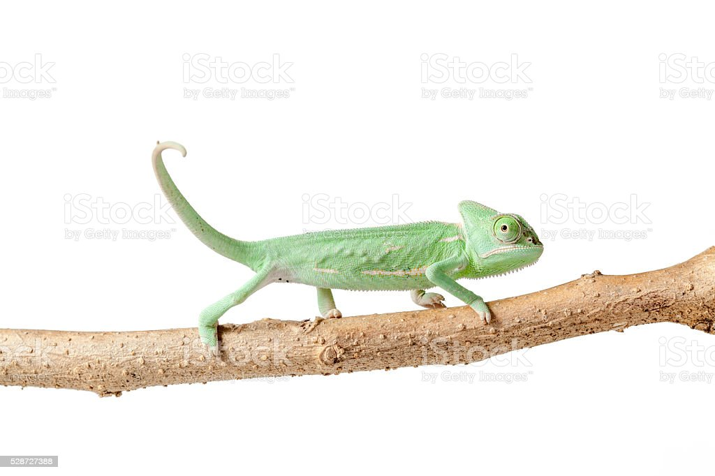 Greenish chameleon walking on a branch isolated on white background stock photo