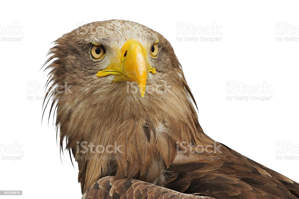Greenland White-tailed Eagle royalty-free stock photo