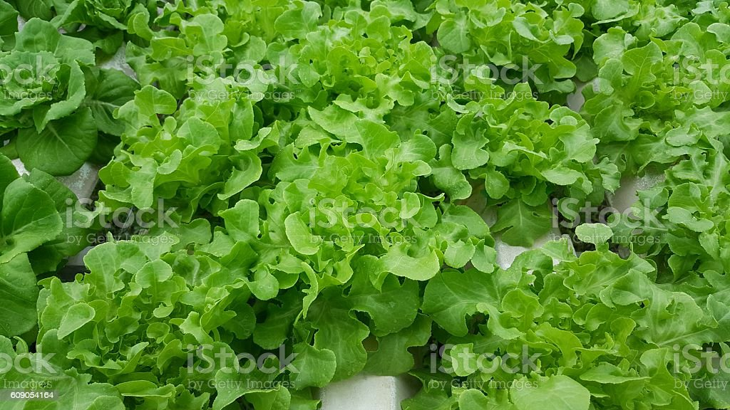 Greens Organic hydroponic growing vegetables without soil stock photo