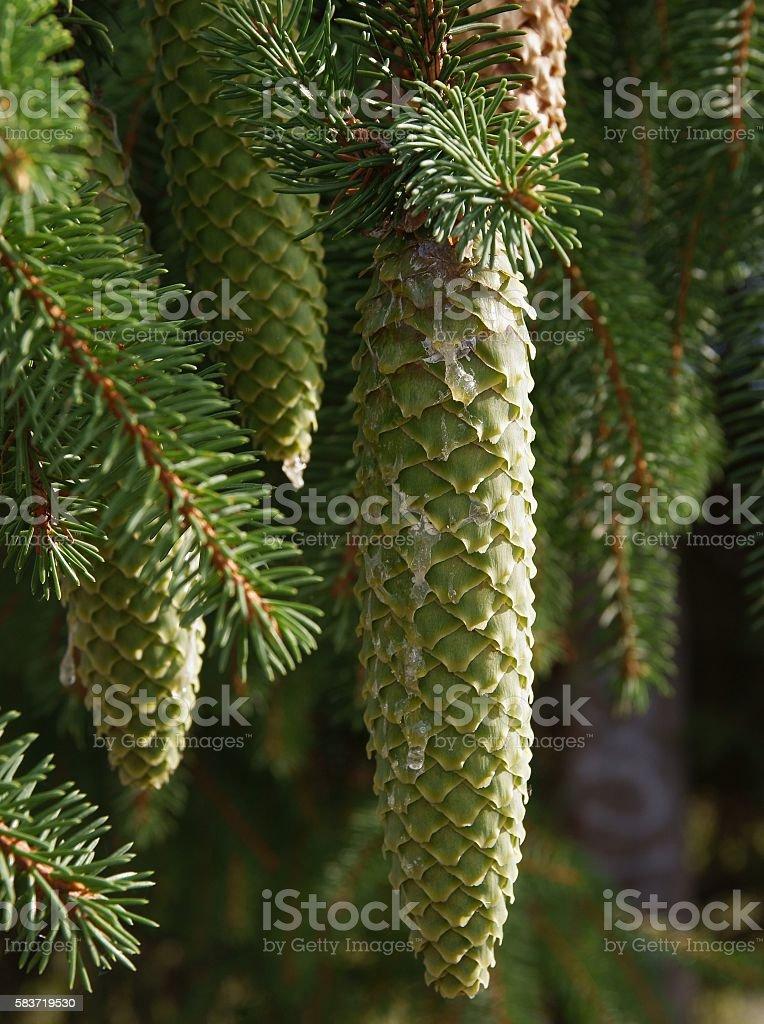 green,unripe cones of spruce tree stock photo