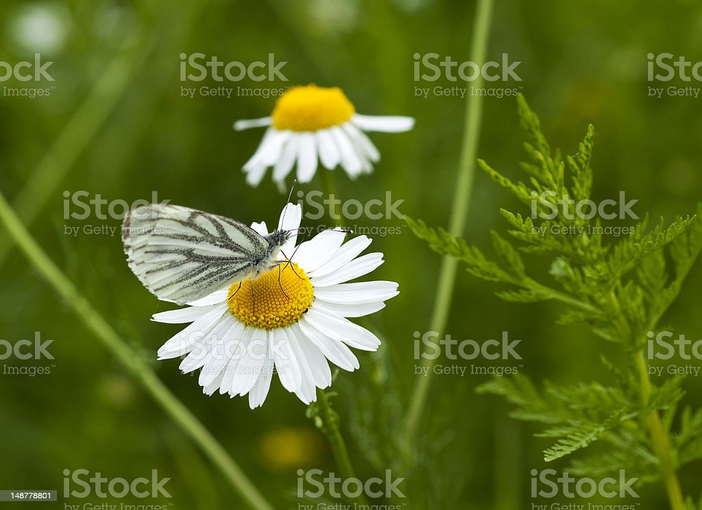 Green-veined White butterfly royalty-free stock photo