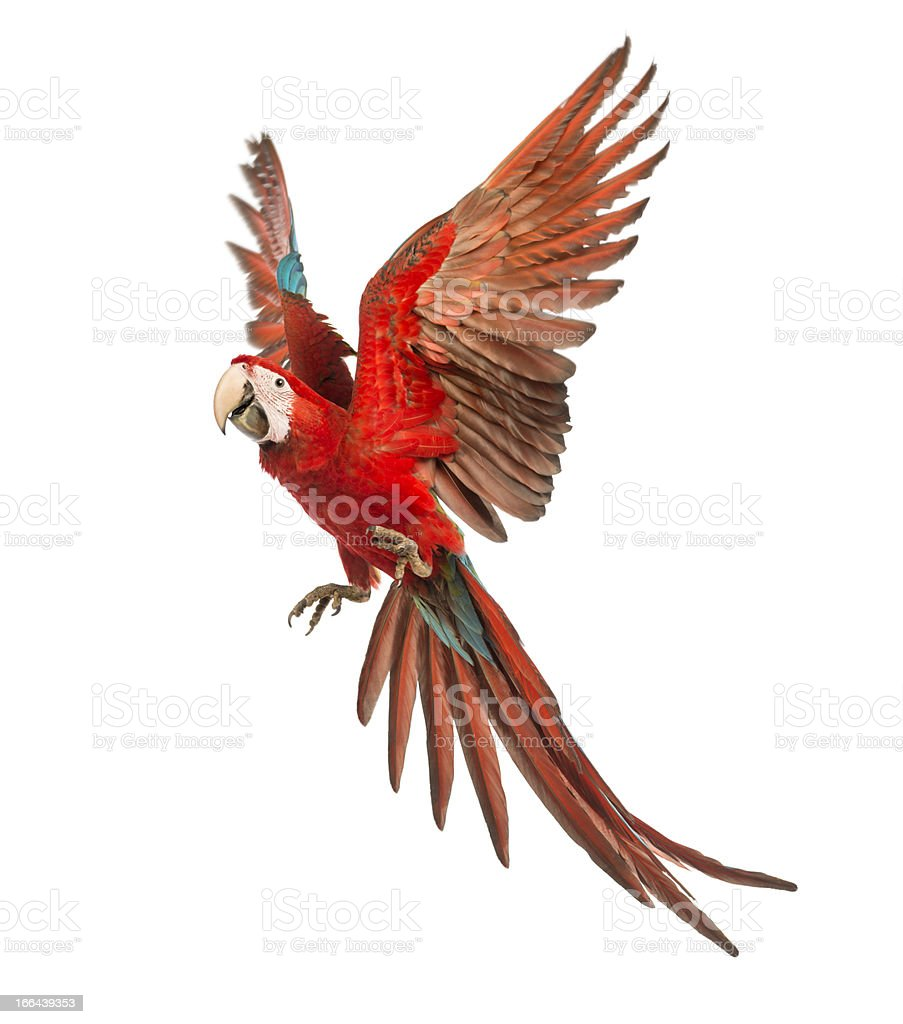 Green-winged Macaw, Ara chloropterus, 1 year old, flying stock photo