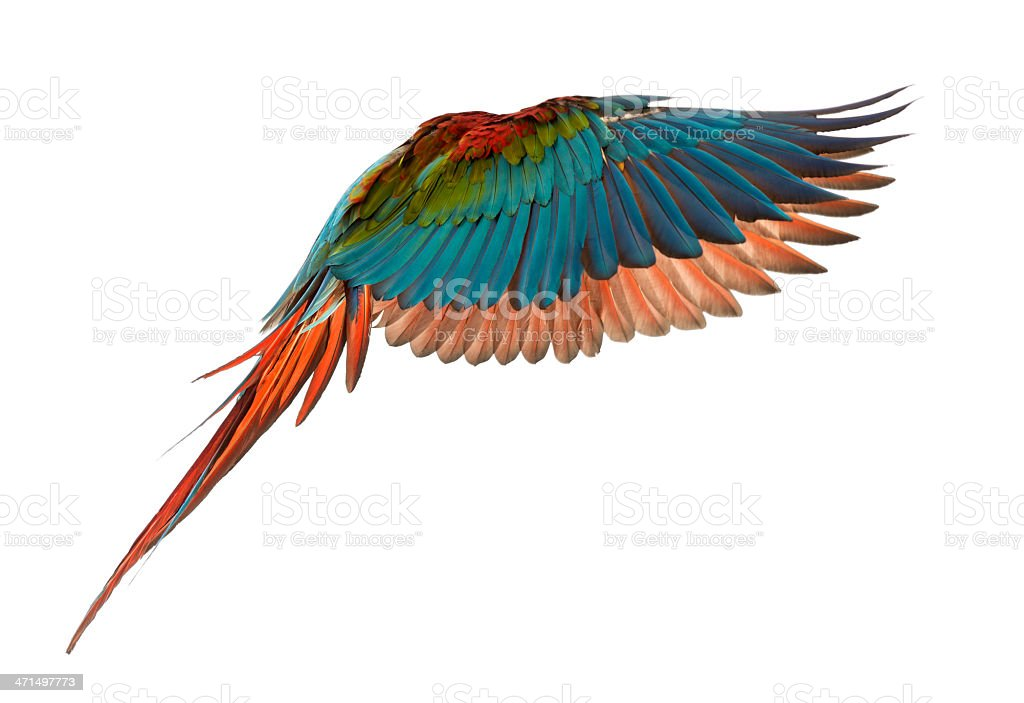Green-winged Macaw, Ara chloropterus, 1 year old, flying stock photo