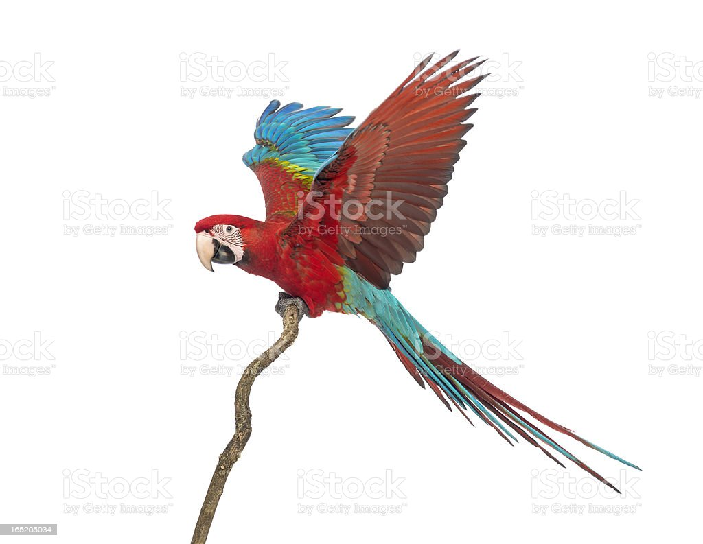 Green-winged Macaw, Ara chloropterus, 1 year old, perched on branch stock photo