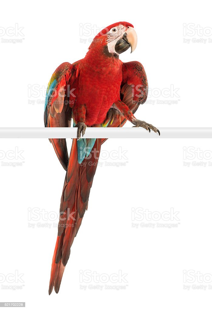 Green-winged Macaw, Ara chloropterus, 1 year old, perched stock photo