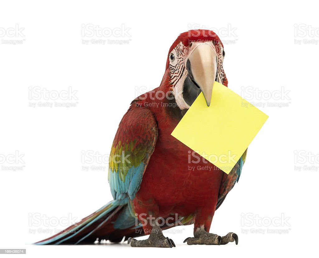 Green-winged Macaw, Ara chloropterus, holding a yellow card royalty-free stock photo