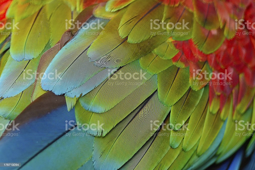 Greenwinged Macaw feathers royalty-free stock photo