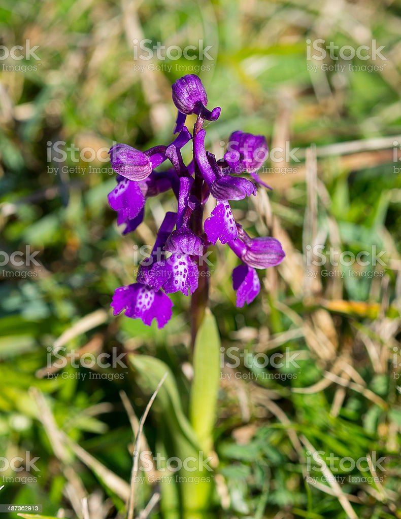 Green-winged Orchid royalty-free stock photo