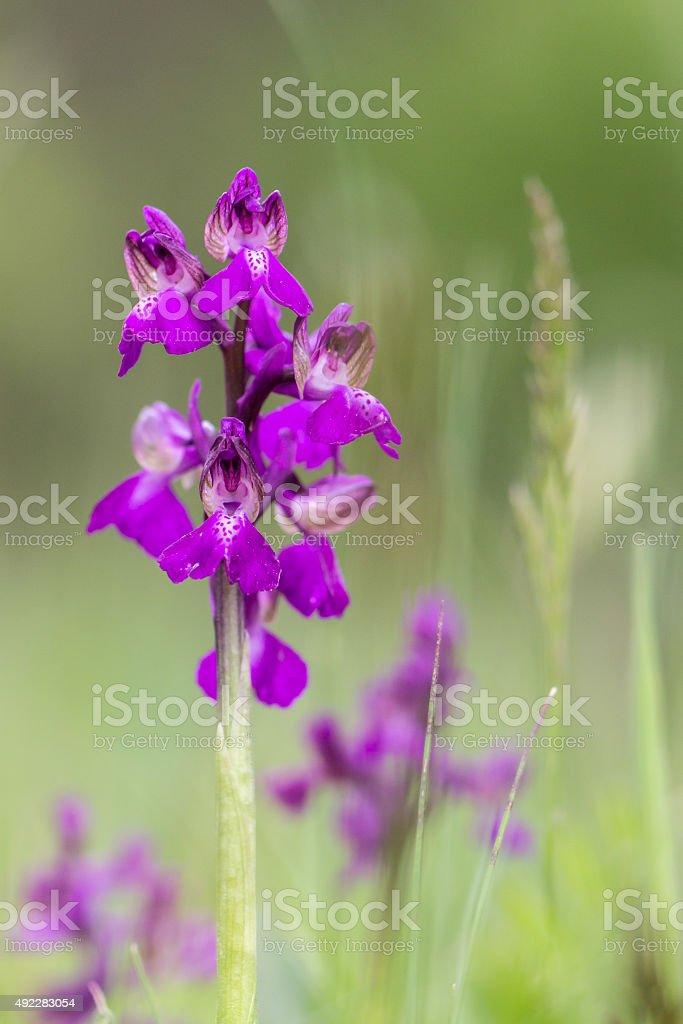 Orquídea de alas verdes foto de stock libre de derechos