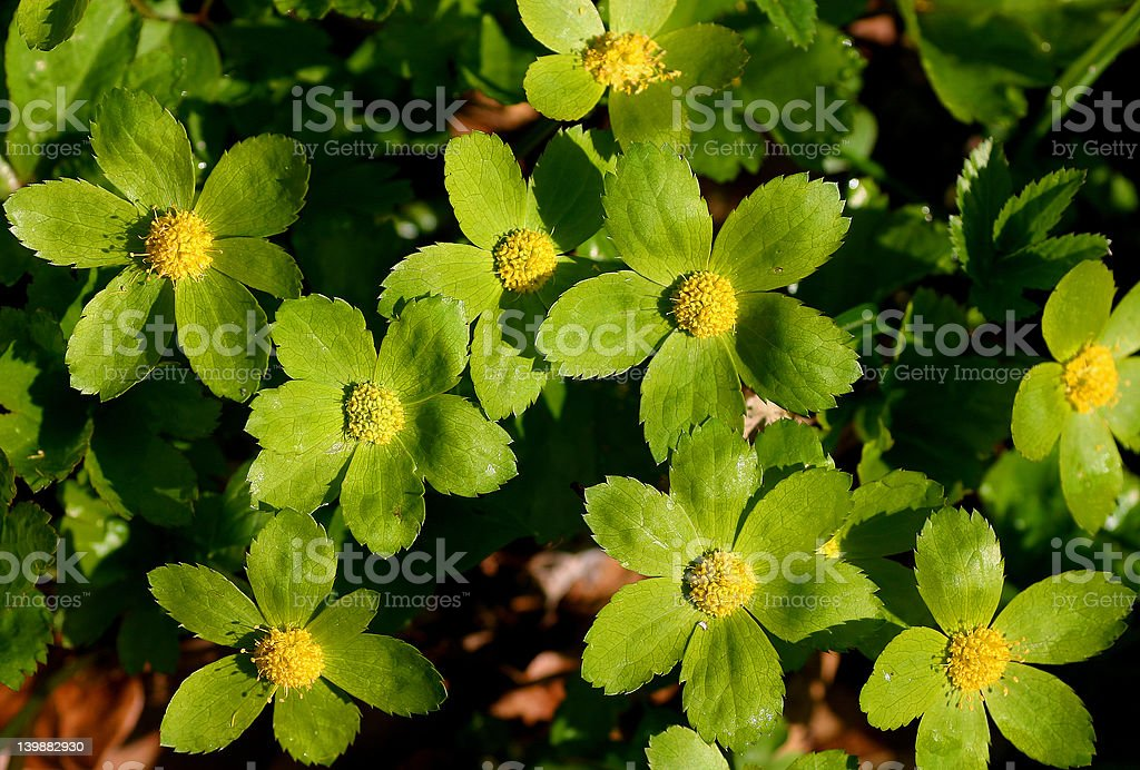 Green-yellow flowers of Hacquetia plants royalty-free stock photo