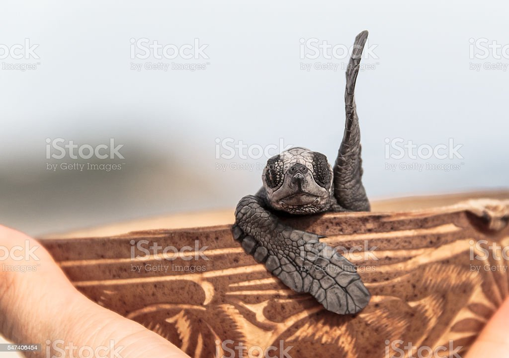 greeting baby turtle stock photo