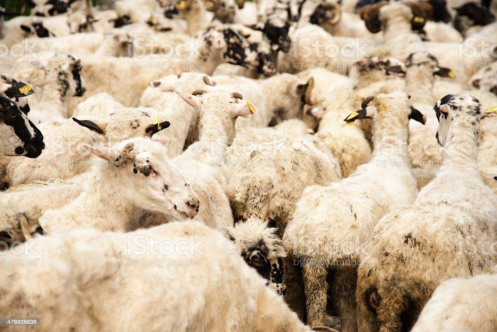 Gregge di pecore, Bosnia e Erzegovina stock photo