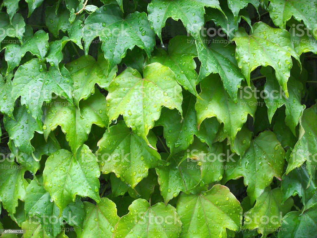 Gren ivy covered wall close up stock photo