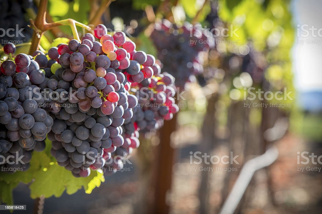Grenache Wine Grapes stock photo