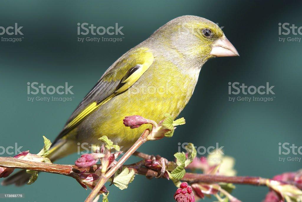 Grenfinch on Blutjohannisbeerbranch stock photo