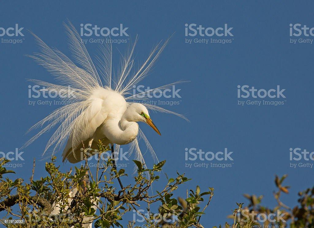 Greta Egret in courtship display stock photo