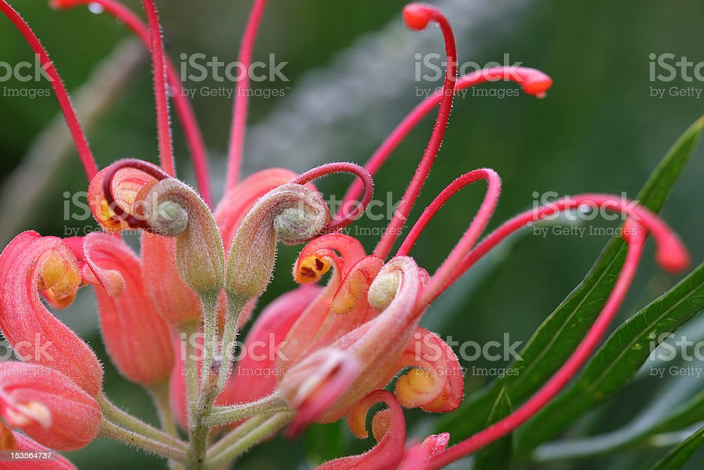 Grevillea closeup stock photo