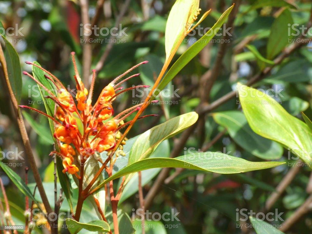 Grevillea Orange Marmalade near Kuranda stock photo