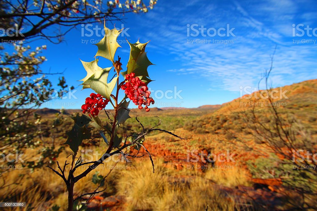 Grevillea wickhamii in Trephina Gorge, Australia stock photo