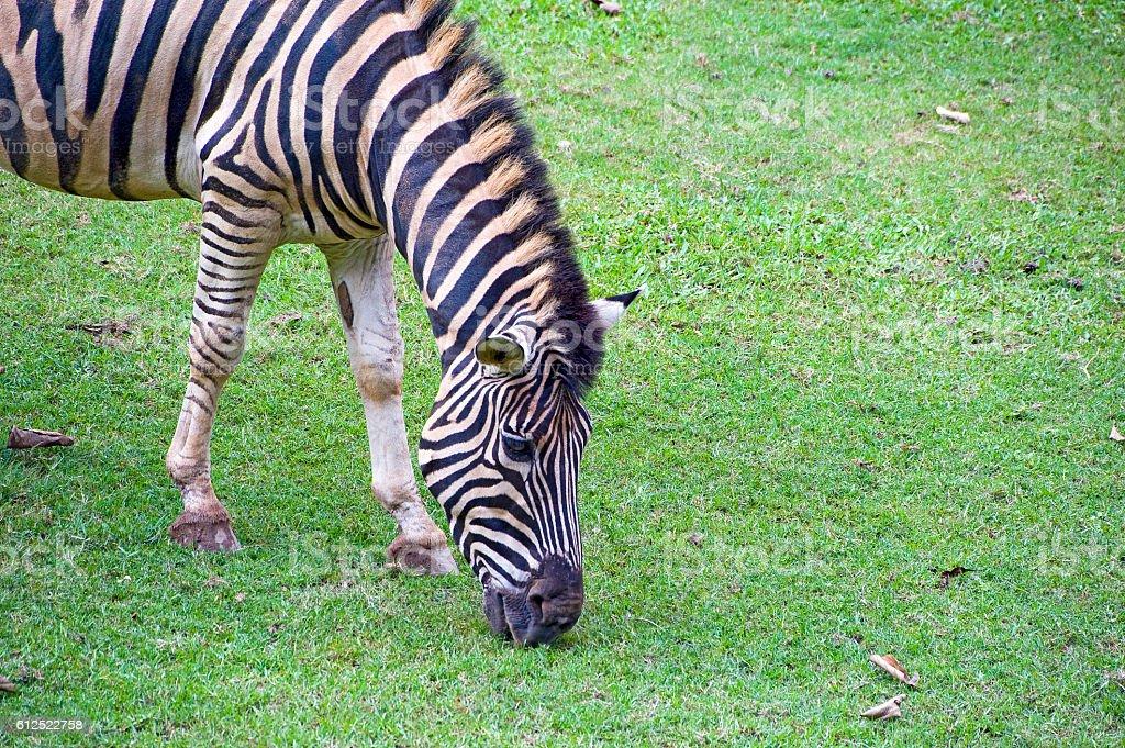 Grevy's zebra or imperial zebra stock photo
