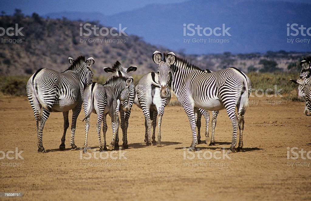 Grevy's zebras royalty-free stock photo