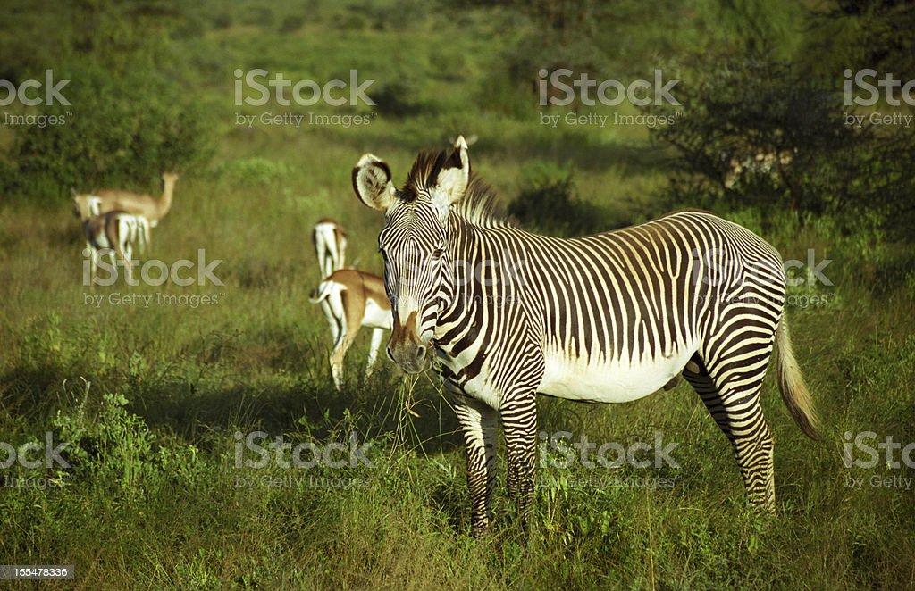 Grevy-zebra, Samburu Game Reserve, Kenya royalty-free stock photo