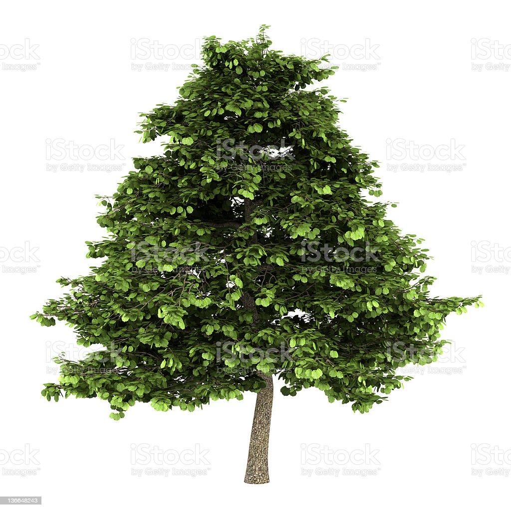 grey alder tree isolated on white background stock photo