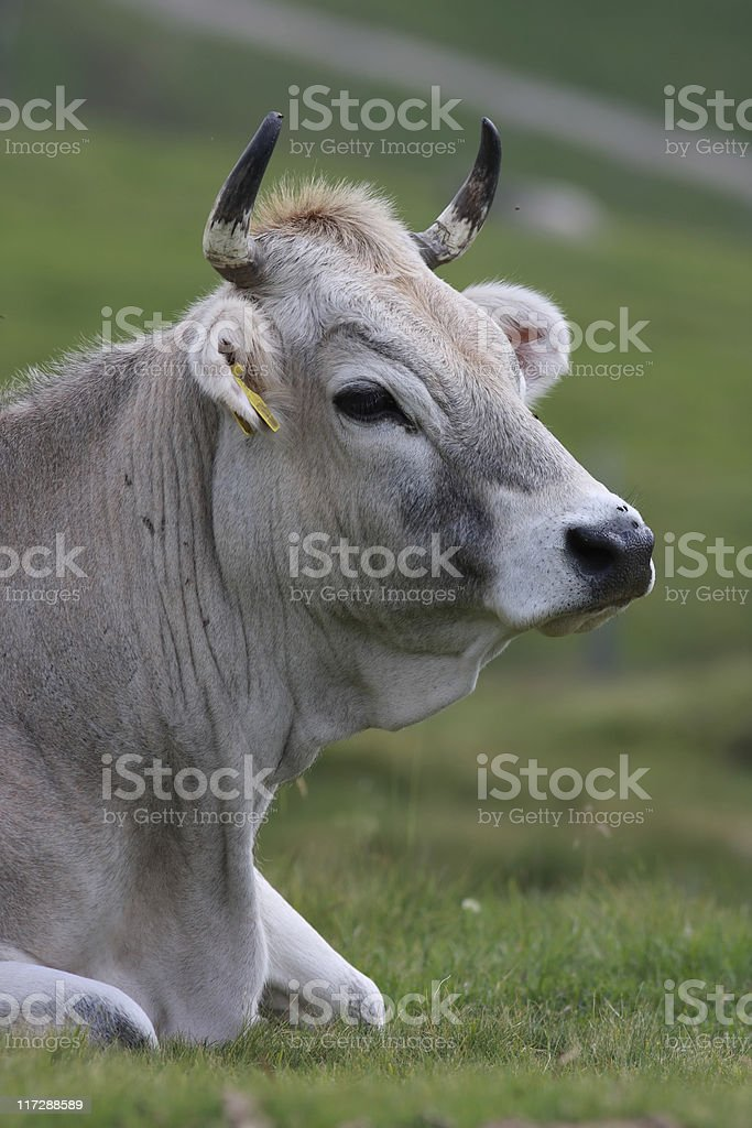 Grey alpine cow stock photo