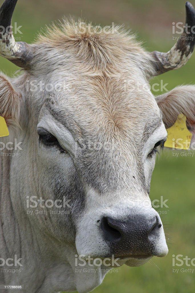 Grey alpine cow portrait stock photo