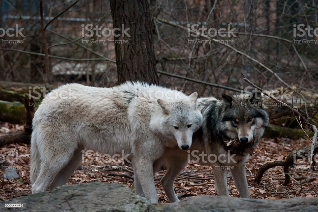 Grey and Arctic Wolves stock photo