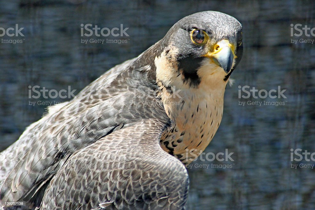 Grey and brown toned peregrin falcon stock photo