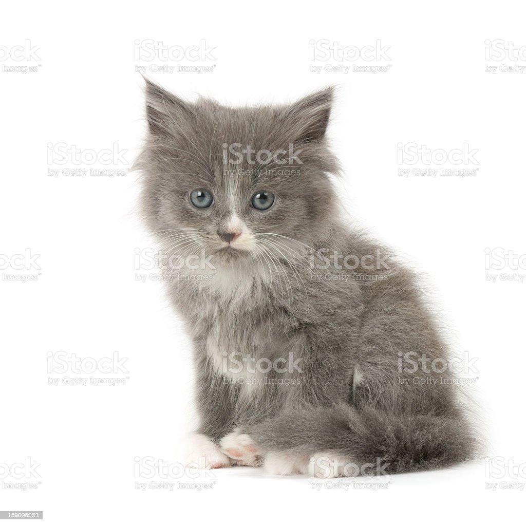 Grey and white kitten royalty-free stock photo