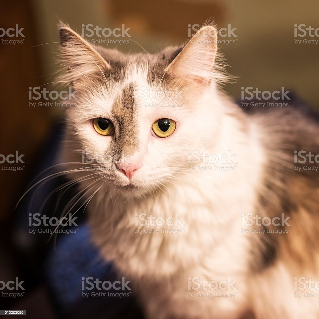 Grey and White Kitten Portrait stock photo