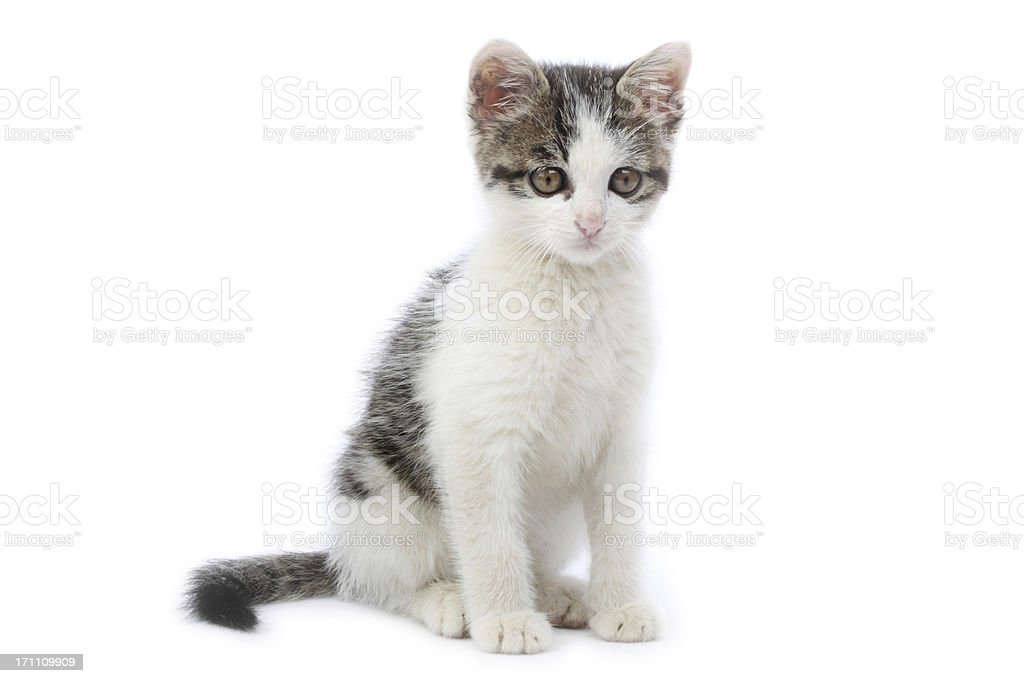 Grey and white kitten sitting on the ground royalty-free stock photo