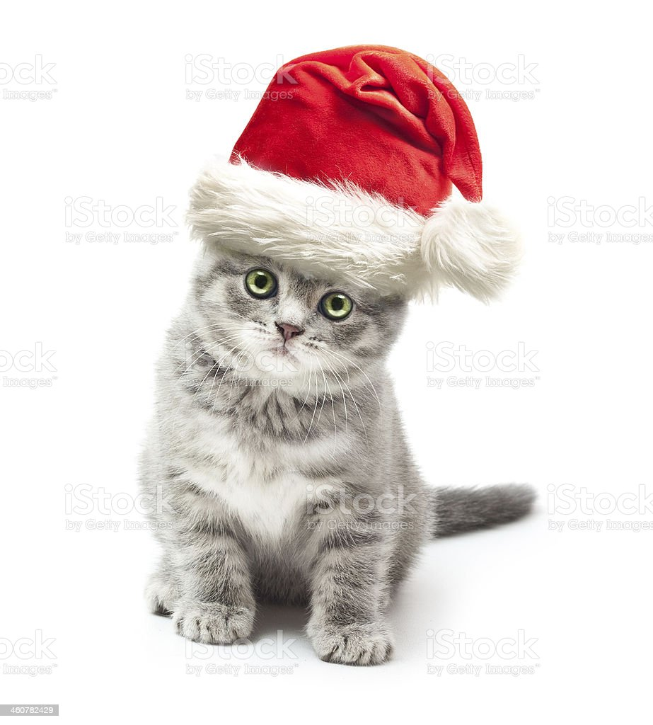 Grey and white kitten wearing a Santa Claus hat stock photo
