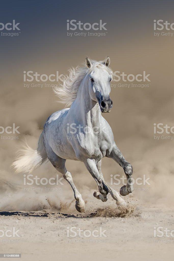 Grey arabian horse stock photo
