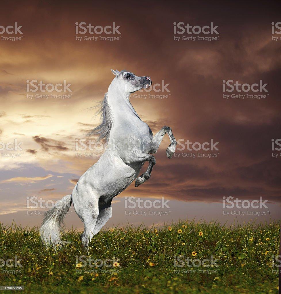 grey arabian horse rearing royalty-free stock photo